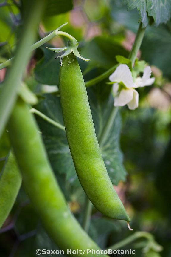 English shelling pea in organic garden