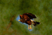 541950082 a wild adult harris hawk parabuteo unicinctus in flight on a private ranch in the rio grande valley of south texas