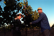 Workers harvest chardonnay grapes in the Carneros region of Napa, Calif. USA August 25, 2000.