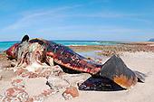 A dead Sperm Whale (Physeter macrocephalus) on the shore, Socotra, Yemen.
