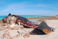 A dead Sperm Whale (Physeter macrocephalus) on the shore, Socotra, Yemen.