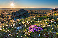 Landscape of mountain aven wildflowers and the midnight sun, Utukok uplands, National Petroleum Reserve Alaska, Arctic, Alaska.