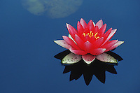 Water Lily (Nymphaeaceae), blooming, Switzerland