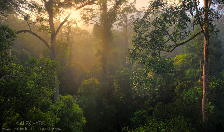 Lowland dipterocarp rainforest canopy at dawn. Danum Valley, Sabah