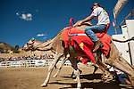 Garrick Jackson, of Klamath Falls, Oregon at the start of a heat race at the 51st annual International Camel Races in Virginia City, Nevada  September 12, 2010. .CREDIT: Max Whittaker for The Wall Street Journal.CAMEL