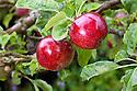 WA09772-00...WASHINGTON - Liberty apple.