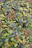 Salvia officinalis 'Purpurescens' purple leaved culinary sage growing, in seedheads, showing many growths