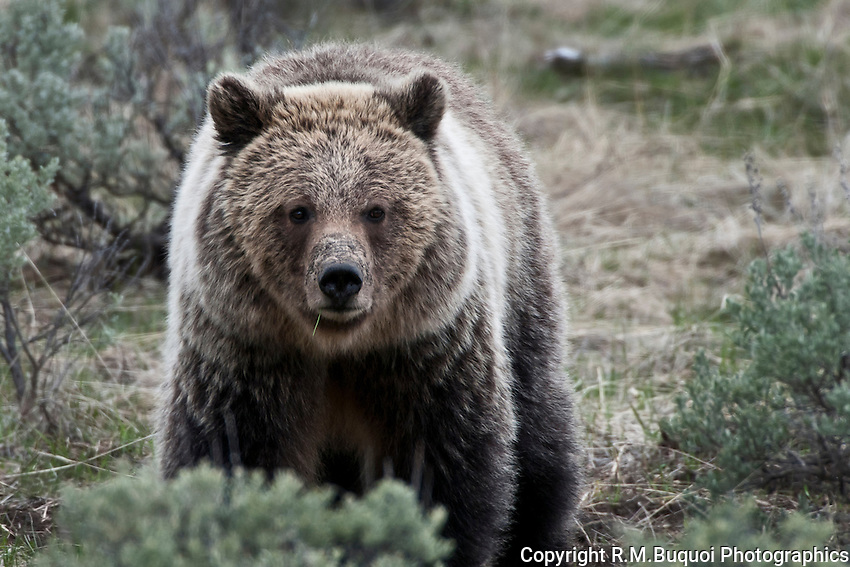 Grizzly Bear walking in sage brush