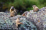 Yellow-bellied marmot (Marmota flaviventris) family