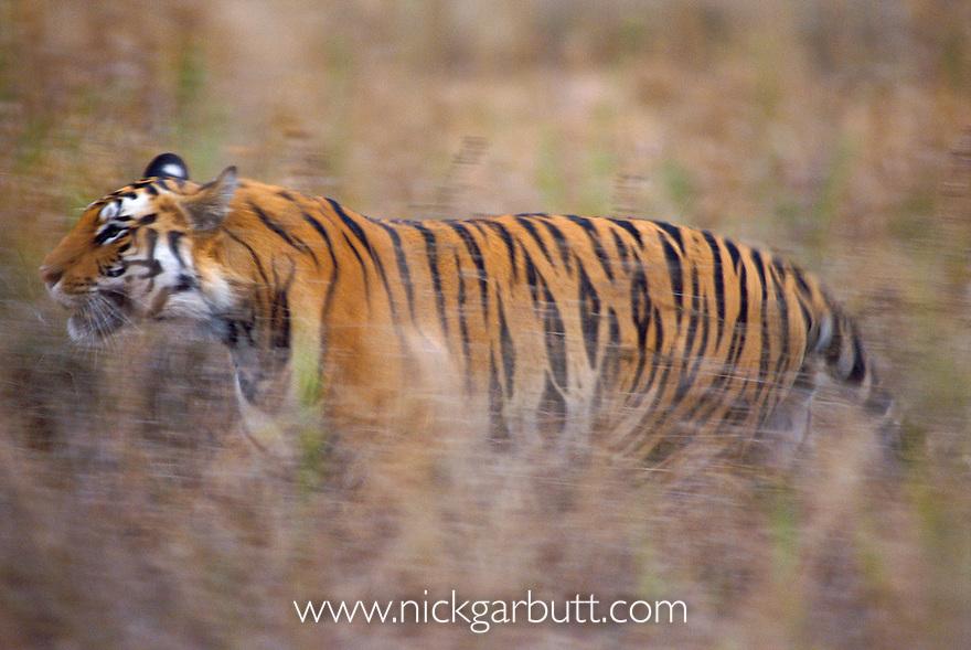 Tiger tiger speed dating