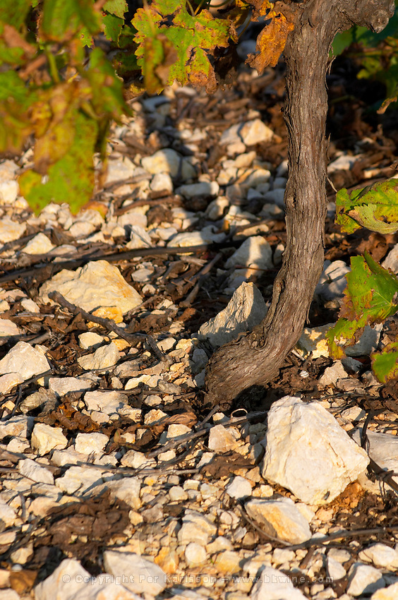 Chateau Mire l'Etang. La Clape. Languedoc. Old, gnarled and twisting vine. Terroir soil. France. Europe. Soil with stones rocks.