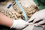 Measuring Geoffroy's Cat