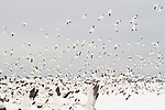 Winter in skagit County during the Snow Geese Migration geese in flight and resting Washington State USA