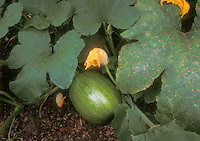 Pumpkin growing in garden, showing vegetable and flower with vine and leaves