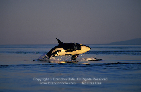 kw2867. Orca or Killer Whale, (Orcinus orca) breaching at sunset. British Columbia, Canada, Pacific Ocean..Photo Copyright © Brandon Cole. All rights reserved worldwide.  www.brandoncole.com..This photo is NOT free. It is NOT in the public domain. This photo is a Copyrighted Work, registered with the US Copyright Office. .Rights to reproduction of photograph granted only upon payment in full of agreed upon licensing fee. Any use of this photo prior to such payment is an infringement of copyright and punishable by fines up to  $150,000 USD...Brandon Cole.MARINE PHOTOGRAPHY.http://www.brandoncole.com.email: brandoncole@msn.com.4917 N. Boeing Rd..Spokane Valley, WA  99206  USA.tel: 509-535-3489