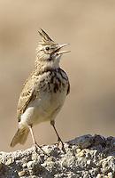 Haubenlerche, singend, Hauben-Lerche, Galerida cristata, crested lark