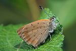 Small Copper Butterfly, Lycaena phlaeus, adult, side view of underside of wings, on leaf.United Kingdom....