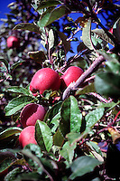 TREES - PLANTS<br /> Apple Tree with Apples<br /> Washoe Valley, NV