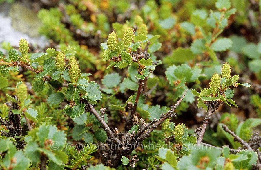Zwerg-Birke, Zwergbirke, Polar-Birke, Polarbirke, Birke, Betula nana, dwarf birch, dwarf-birch