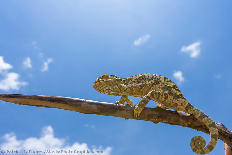 Camelion on a branch under the blue sky on the Masai Mara, Kenya, Africa