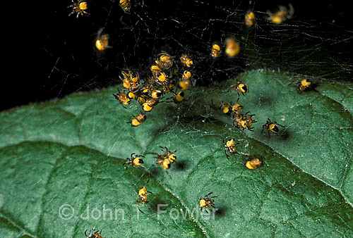 Young baby argiope spiders in nest