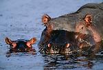 Hippopotamus and calf, Lake Manyara National Park, Tanzania