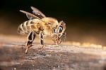 Worker Honey Bee, Apis mellifera, Kent UK, on side of hive, showing full body, legs, wings, head, eye, antennae