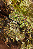 Vietnamese Mossy Frog (Theloderma corticale) camouflaged on a mossy tree trunk. Captive
