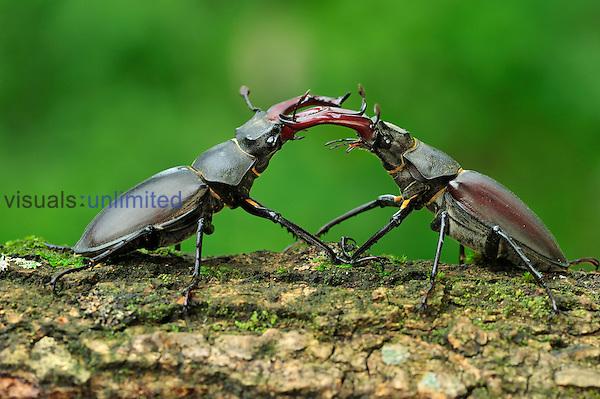 Stag Beetle males fighting (Lucanus cervus), Switzerland