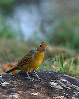 Adult Description:<br /> Medium-sized songbird.<br /> Male entirely red; female dull yellow.