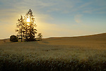 Washington, Eastern, Palouse, Golden wheat ready for harvest in the Palouse region of Eastern Washington just after a summer sunrise.
