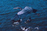 Great Blue Heron (Ardea herodias) flying over Ducks swimming in Lake