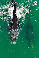 Southern right whale (Eubalaena australis) and calf breaching water surface (Licence this image exclusively with Getty: http://www.gettyimages.com/detail/73532523 )
