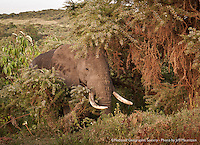 An African elephant eats brush on the side of the road, near the rim of the Ngorongoro Crater in Tanzania.