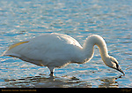 Trumpeter Swan, Swan Lake, Yellowstone National Park, Wyoming