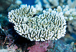 Moorea, French Polynesia; Acropora hyacinthus coral , Copyright © Matthew Meier, matthewmeierphoto.com All Rights Reserved