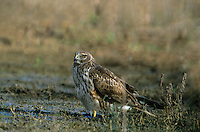 541450012 an adult female northern harrier circus cyaneus lands at a small pond for a drink in the summer heat in the rio grande valley in south texas a wild raptor sexually dimorphic from the male of the species