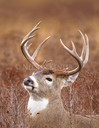 A whitetail buck poses in open brush country in western Montana