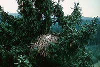 Baumfalke, Küken, Jungvogel, Jungvögel im Nest, Horst, Baum-Falke, Falke, Falco subbuteo, northern hobby