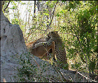 BNPS.co.uk (01202 558833).Pic: EricGurwin/BNPS..***Please use full byline***..The shocked Kudu bucks off the hungry leopard.....This unsuspecting antelope got the shock of its life after an extremely patient leopard pounced from an incredible height in an unsuccessful attempt to make it lunch...Amateur photographer Eric Gurwin(59) waited for over four hours after spotting the cunning big cat hiding in the top of a tree in Botswana's Okavango delta...The leopard launched itself over 30ft from its hiding place landing on the back of the shocked Kudu. Unfortunately for the leopard the female antelope managed to buck the big cat off before racing off into the bush.