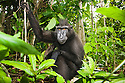 Male crested black macaque in secondary forest, (Macaca nigra), Indonesia, Sulawesi, endangered species, threatened through loss of habitat and bush meat trade, species only occurs on Sulawesi.