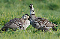 Two nene (or Hawaiian geese) with gosling, Hawai'i.