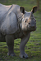 India, Kaziranga National Park, Indian rhinoceros or Great One-horned Rhinoceros or the Asian One-horned Rhinoceros (Rhinoceros unicornis) female;<br /> Found in Nepal and in Assam, India. It is confined to the tall grasslands and forests in the foothills of the Himalayas
