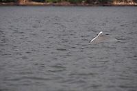 Indo-Pacific Humpbacked Dolphin,  Sousa chinensis, surfacing.  Arabian sea. Goa, India