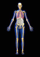 Biomedical illustration of a standing adult man showing the internal organs through a transparent body, frontal view