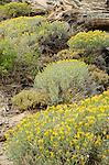 Rabbitbrush (Chrysothamnus nauseous), Toiyabe National Forest, California