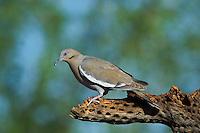 518240031 a wild  white-winged dove enaida asiatica perches on a cholla cactus skeleton in southern arizona