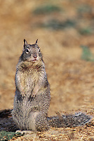 675103057 a wild california ground squirrel spermophilus beecheyi posing in point lobos preserve in california