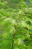 Metasequoia glyptostroboides, dawn redwood tree, closeup of foliage leaves