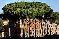 Low angle view of Stone pines, Rome Italy, on December 13, 2010 in the morning.  The trees, also known as Umbrella pines, stand in front of a row of typical roman buildings in the neighbourhood of the Castel Sant'Angelo (Mausoleum of Hadrian), just across the Tiber from the Vatican City. Picture by Manuel Cohen